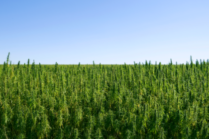 Can You Smoke Hemp - hemp field with blue sky